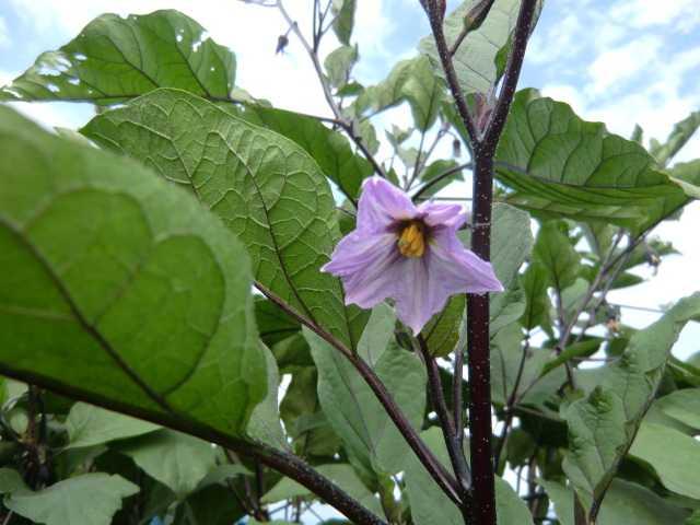 なすの花の色は紫